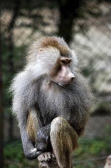 Fauna, Primates, Apes