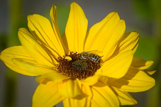 Sun Flower, Bee, Plant, Insect, Yellow, Autumn