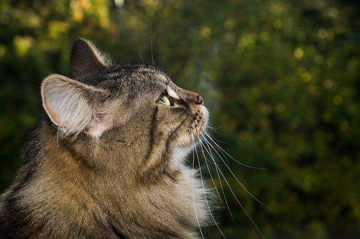 Cat, Norwegian Forest Cat, Domestic Cat, Sweet, Fur