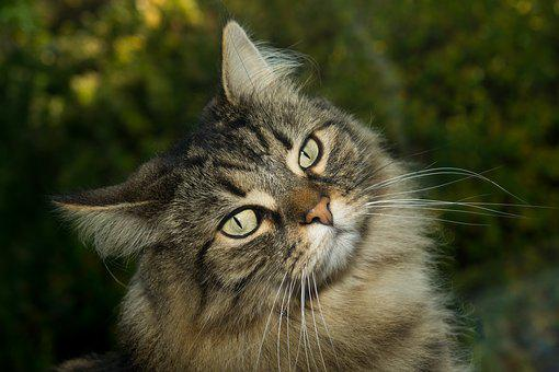 Cat, Norwegian Forest Cat, Sweet, Domestic Cat, Curious