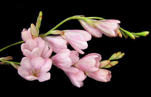 Bulb, Flower, Pink, Stems