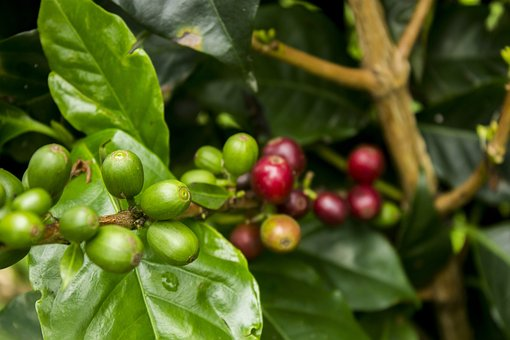 Coffee, Red, Green, Mature, Nature, Fruit, Food, Plant