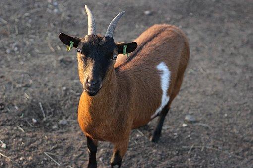 Goat, Horns, Animal, Farm, Billy Goat, Brown