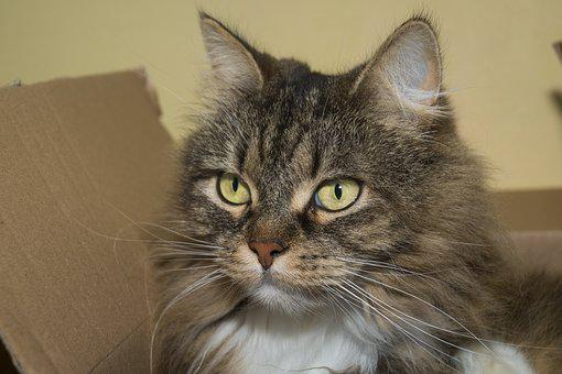 Cat, Norwegian Forest Cat, Sweet, Head, Mieze, Cute
