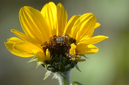 Sun Flower, Flower, Bee, Insect, Autumn
