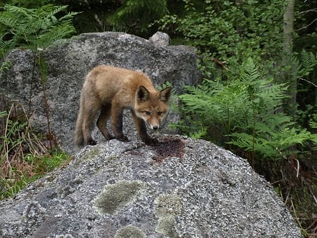 Fox, Kid, Nature
