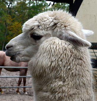 Alpaca, Animal, Mammal, Wildlife Photography, Wool