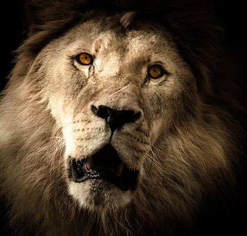 Lion, Mane, Eye, Zoo, Cat, Predator, Males, Wildcat