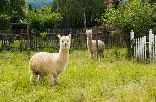 Alpaca, Bright Coat, Nature, Wildlife Photography