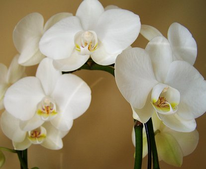 Orchid, Exotic Plant, White Color, Room Plant