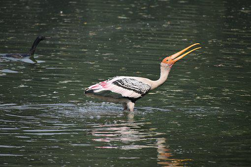 Painted Stork, Stock, Calligraphic, Neck, Rare, Wing