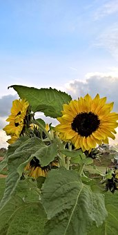 Plant, Sun Flower, Yellow Flowers, Brown Seeds