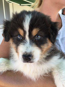 Australian Sheperd, Puppy, Dog, Tenderness, Sweet, Pet
