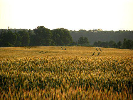 Cereals, Field, The Cultivation Of, Village