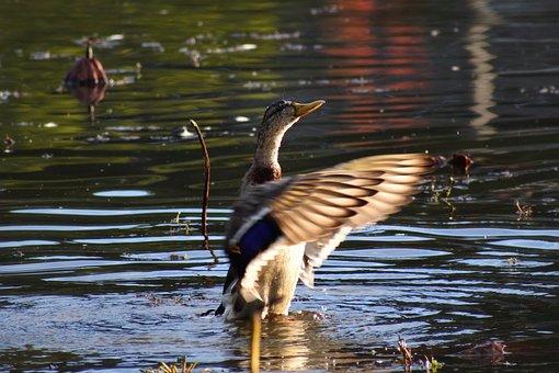 Animal, Pond, Waterside, Bird, Waterfowl, Wild Birds