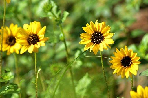 Sunflower, Yellow, Garden, Plant, Bee, Fresh