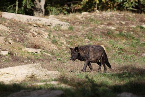Wolf, Timberwolf, Young, Black, Canada, Animal Portrait