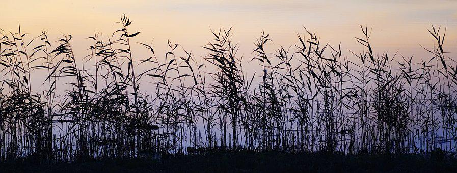 Grass, Reed, Dusk, Silhouette, Water, River, Bank