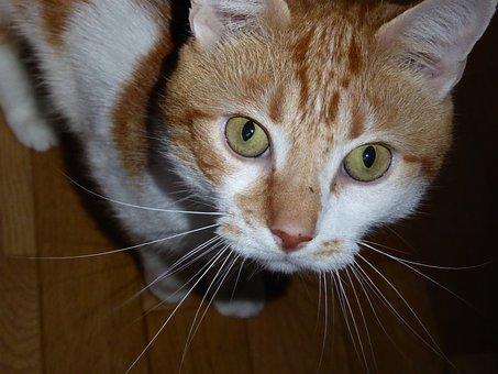 Cat, Animal, Feline, Animals, Cat Eyes, Domestic Animal