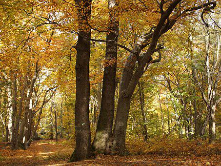 Beech Forest, Beech, Forest, Nature, Tree, Colors