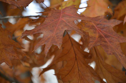 Nature, Dried Leaves, Autumn