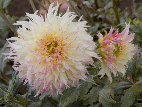 Dahlias, Flowers, Botanical Garden