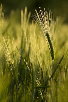 Wheat, Cereals, Green, Ecologically, Wheat Field, Grain