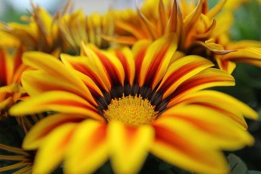 Macro, Ice Plant, Flower, Garden, Flower Bed