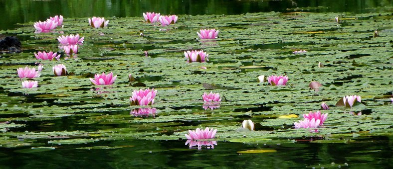 Landscape, Nature, Lake, Water Lily, Nature Reserve