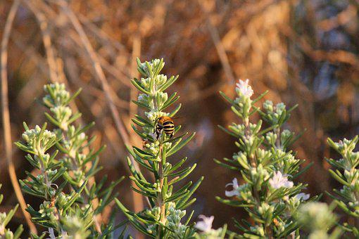 Bee, Rosemary, Leaves, Leaf, Flowers, Flower, Green