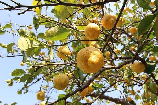 Lemons, Tree, Citrus Fruits, Fruit, Fruits, Nature