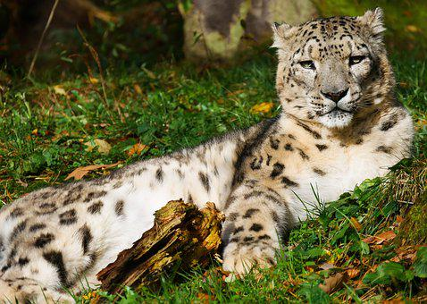 Animals, Cat, Leopard, Snow Leopard, Predator, Fur