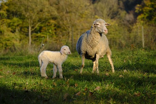 Sheep, Schäfchen, Lamb, Baby, Reborn, Pasture, Meadow