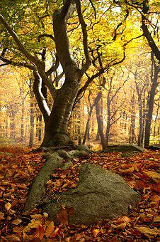 Beech Forest, Roots, Forest, Beech, Nature, Tree, Light