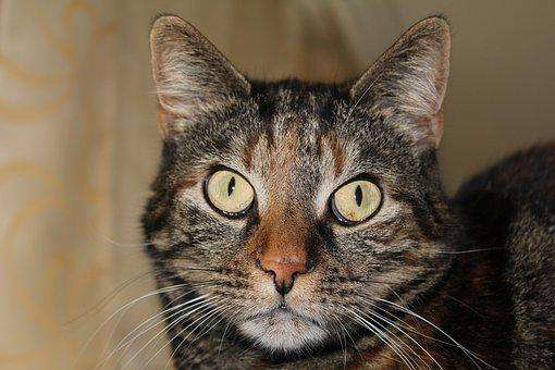 Cat, Pet, Cute Cat, Tortoise Shell, Mieze, Domestic Cat