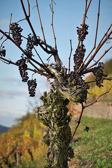 Grapevine, Vineyard, Landscape, Winegrowing, Vine