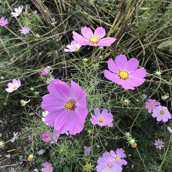 Cosmos, Pink, Autumn, Flowers, Pink Flowers, Wildflower