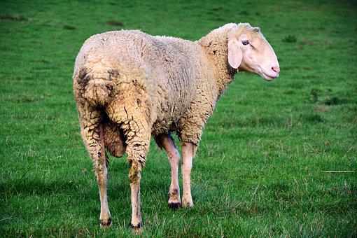 Sheep, White, Animal, White Sheep, Wool, Livestock