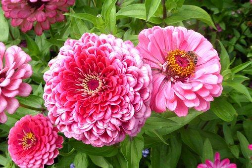 Zinnia, Flowers, Summer, Pink, Flower Garden, Close