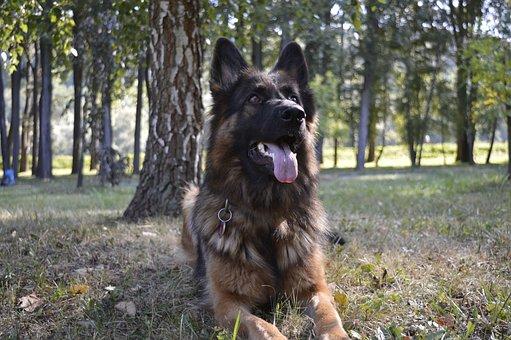 Dog, Zvierata, The German Shepherd Dog