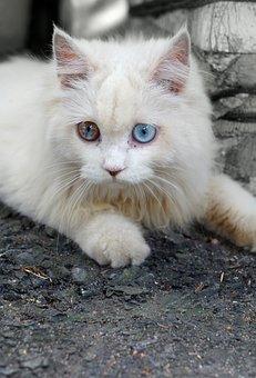 Pets, White Cat, Blue Eyes