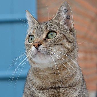 Cat, Domestic Animal, Feline, Cat Eyes, Green Eyes