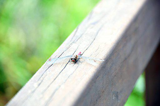 Dragonfly, Arboretum, Nature, Insects, Park, Forest