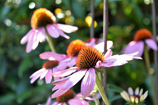 Echinacea Purpurea, Sun Hat, Flower, Plant, Summer