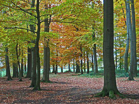 Beech Wood, Autumn, Fall Color, Autumn Forest, Emerge