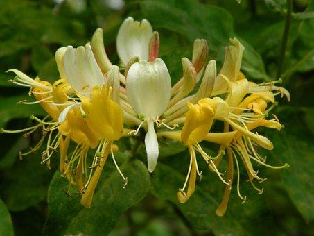 Honeysuckle, Flower, Yellow, Natural, Garden, Nature
