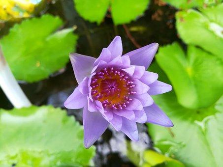 Flowers, Purple, Lotus