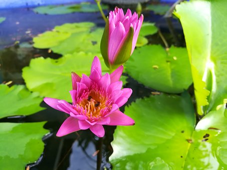 Flowers, Lotus, Pink
