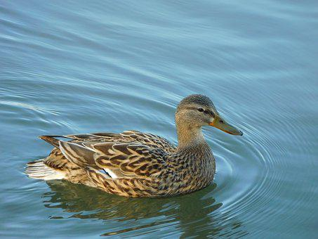 Animal, Bird, Duck, Mallard, Water
