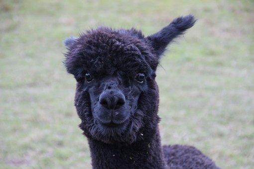 Alpaca, Black Fur, Furry, Fluffy, Wool, Mammal